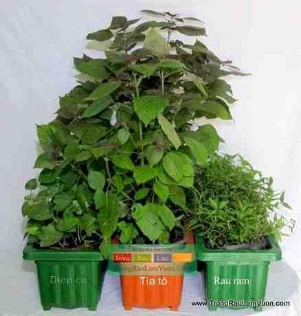 Bon-rau-3-cay-dongdau Ổn định kinh tế nhờ trồng rau xà lách xoong