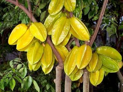 Khế-ngọt-2 Chanh bông tím cho trái quanh năm