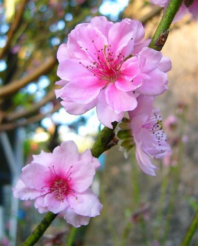 P1030847 Chọn cây hoa chơi Tết vừa bền vừa trồng lại được