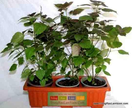 Tia-to-3-cay-dongdau Hướng dẫn trồng các loại rau thơm tại nhà