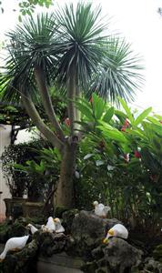 Cây Phát tài núi trồng cụm trang trí sân vườn