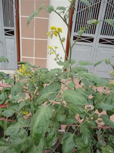 Rau an quả trồng tại nhà cần thiết phải chọn chậu trồng phù hợp và tăng cường bón phân bổ sung