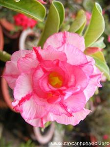Hoa cây Sứ Thái- dạng cánh kép