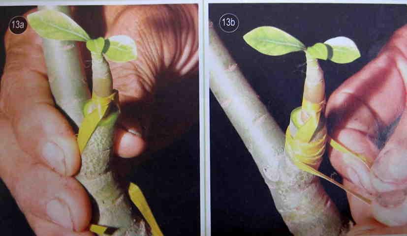 Cách gieo hạt và ghép cây  - Hình 13a-13b