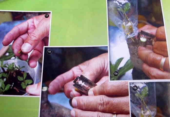 Cách gieo hạt và ghép cây - Hình 17-18-19a,b