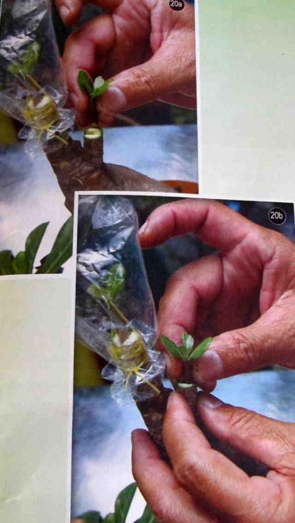 Cách gieo hạt và ghép cây  - Hình 20a,b