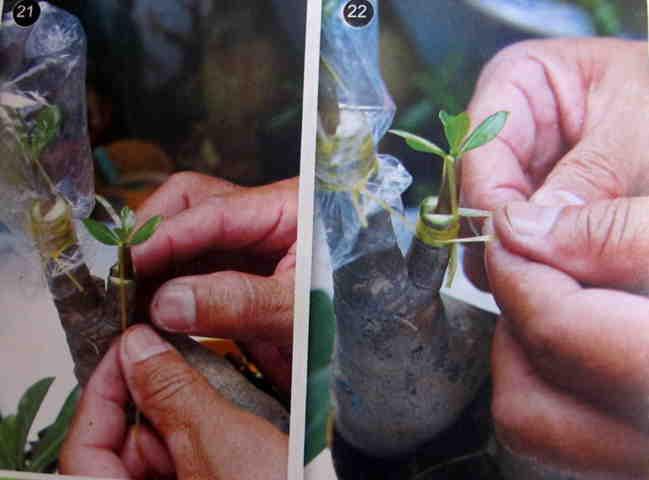 Cách gieo hạt và ghép cây  - Hình 21-22