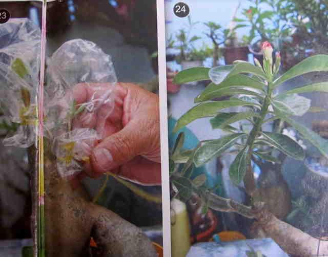 Cách gieo hạt và ghép cây - Hình 23-24