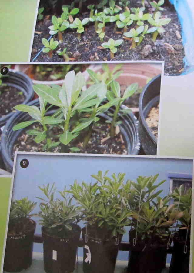 Cách gieo hạt và ghép cây - Hình 7-8-9