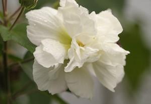 hoa-phu-dung-300x206 Bí mật của cây hoa Phù dung