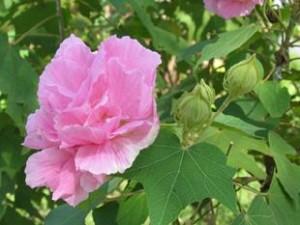 hoa-phu-dung-tri-benh-300x225 Bí mật của cây hoa Phù dung