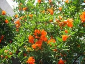 để cây lựu ra nhiều hoa