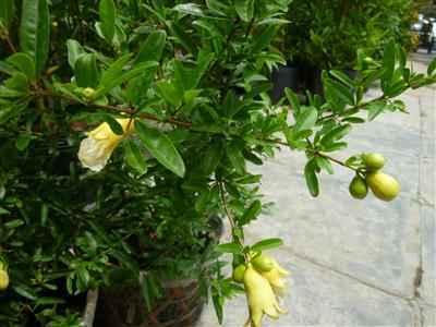 Cây cho hoa trắng trái chín màu trắng vàng ( bạch Lựu)