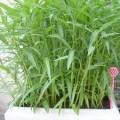 rau-muong-1-120x120 Hướng dẫn cách trồng cây sả tại nhà