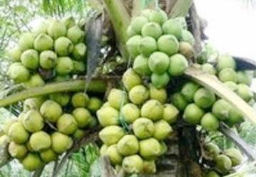 Trái dừa làm giống được chọn kỹ sẽ cho năng suất cao