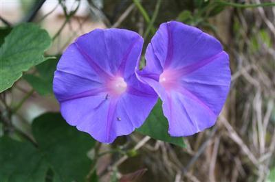 Hoa màu tím- Bìm bìm biếc