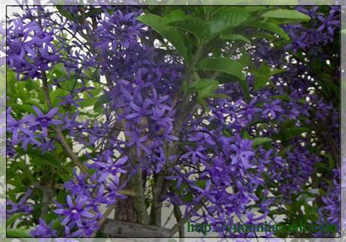 hoa màu tím - Dây bông xanh