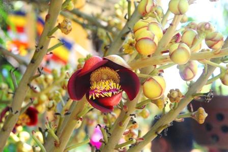Hoa Sa la