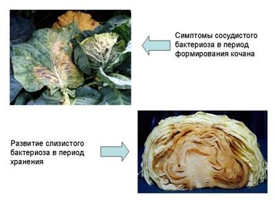 Bệnh bả trầu trên cây cải bắp
