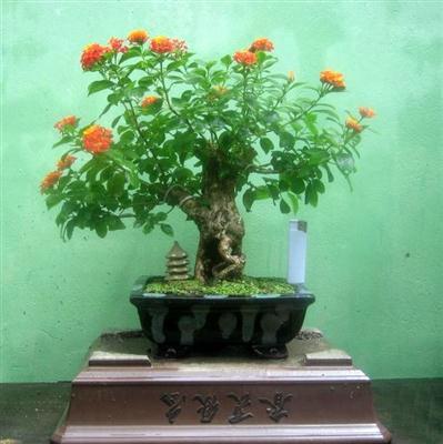 bonsai-ngu-sac Cây ngũ sắc – màu hoa rực rỡ