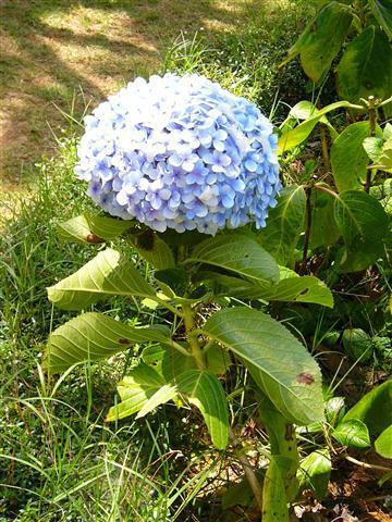 cam-tu-cau-2 9 loài Hoa màu tím ngẩn ngơ cho ngày chủ nhật