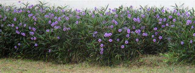 Hoa màu tím- Chiều tím