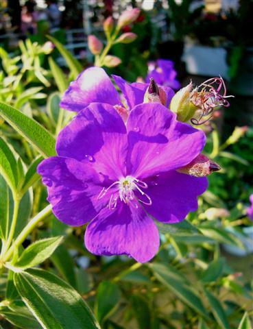 Hoa màu tím - hoa mua