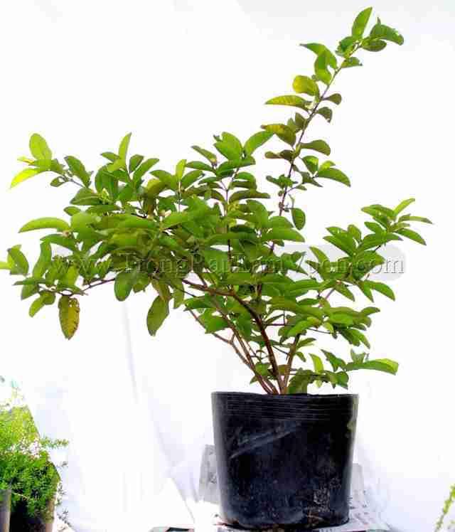 cây ăn trái trồng chậu