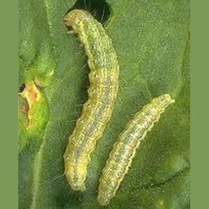 sau-to Cách phòng trừ bệnh hại rau do nấm trong đất
