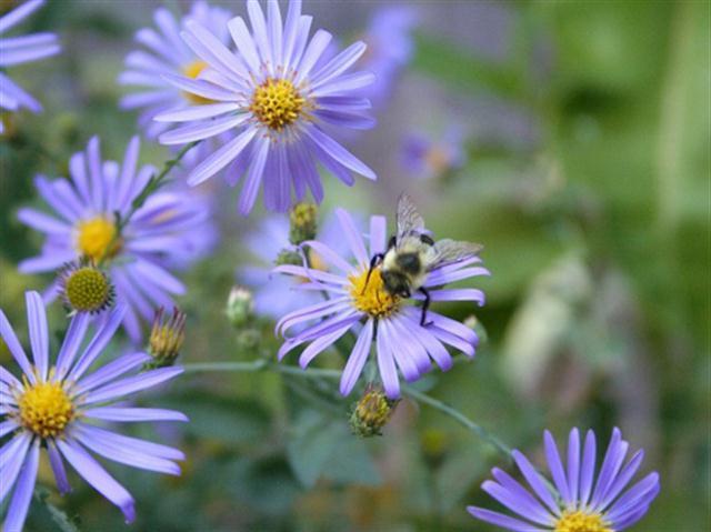 thach-thao-1 9 loài Hoa màu tím ngẩn ngơ cho ngày chủ nhật