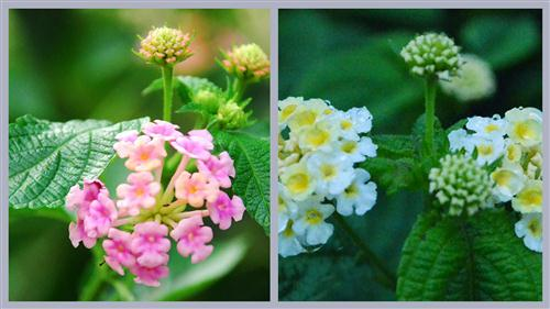 thom-o-mai-chi-thien Cây ngũ sắc – màu hoa rực rỡ