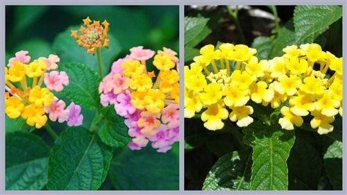 thom-o-mai-chi-thien1 Cây ngũ sắc – màu hoa rực rỡ