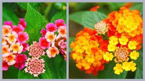 thom-o-mai-chi-thien2 Cây ngũ sắc – màu hoa rực rỡ
