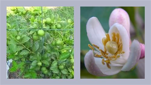 trongrau3 Chanh bông tím cho trái quanh năm