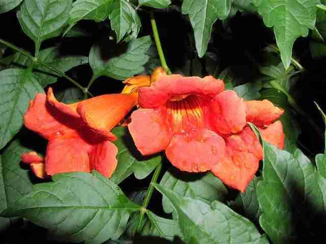 webshots.com-Anhnen Dây Đăng tiêu-dây leo cho hoa đẹp, vị thuốc hay