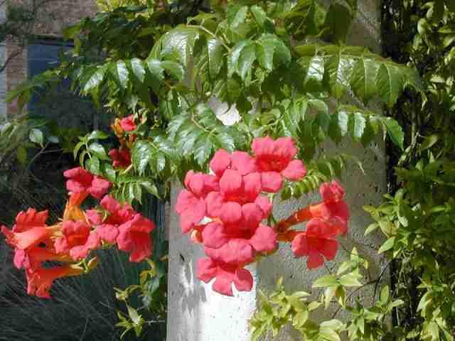 wildflower.org-Anhnen Dây Đăng tiêu-dây leo cho hoa đẹp, vị thuốc hay
