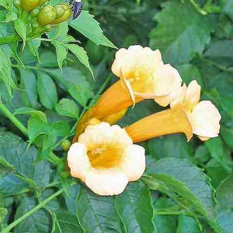 www.finegardening.com-Anhnen Dây Đăng tiêu-dây leo cho hoa đẹp, vị thuốc hay
