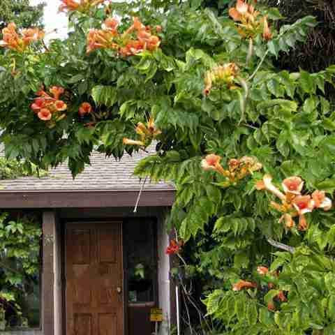 www.vanbelle.com-Anhnen Dây Đăng tiêu-dây leo cho hoa đẹp, vị thuốc hay