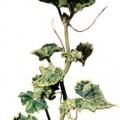 benh-kham-120x120 Bệnh bướu rễ tuyến trùng hại rau màu