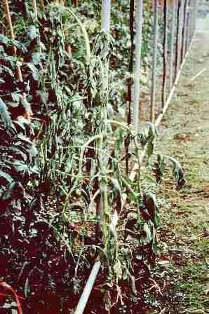 heo-ru-dongdau Bệnh bướu rễ tuyến trùng hại rau màu