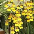OncidiumGowerRamsey-s-120x120 Chọn giá thể trồng lan Mokara tại nhà