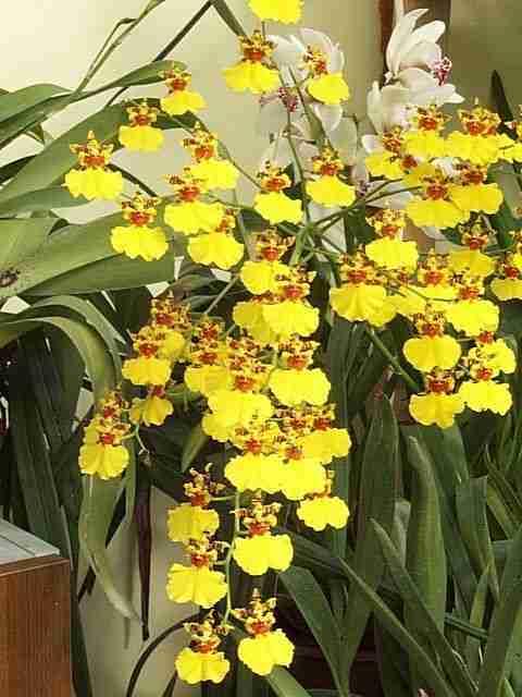 OncidiumGowerRamsey-s Chọn cây hoa chơi Tết vừa bền vừa trồng lại được