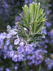 hoa-cay-huong-thao Cây Hương thảo, cây gia vị trong ẩm thực