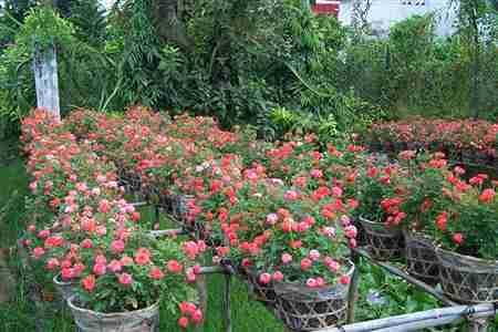 hong-ti-muoi-s Chọn cây hoa chơi Tết vừa bền vừa trồng lại được