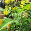 huynh-lien-dongdau-dongdau-120x120 Chọn cây hoa chơi Tết vừa bền vừa trồng lại được