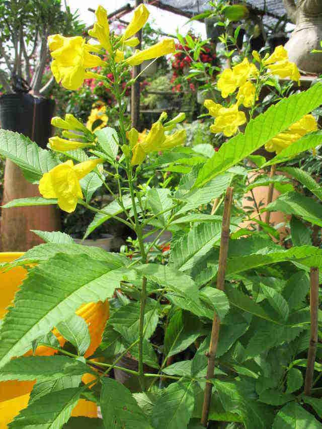 huynh-lien-dongdau-dongdau Chọn cây hoa chơi Tết vừa bền vừa trồng lại được