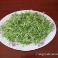 Rau mầm cải bẹ xanh