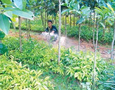 rau-sang-5-s Kỹ thuật gây trồng rau sắng