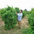 day-la-giang-s-120x120 Hướng dẫn cách trồng củ cải trắng