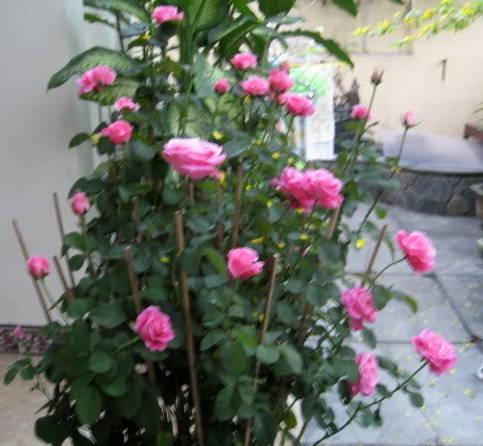 hoa-hong-sau-Tet Hướng dẫn cách trồng hoa hồng trong chậu